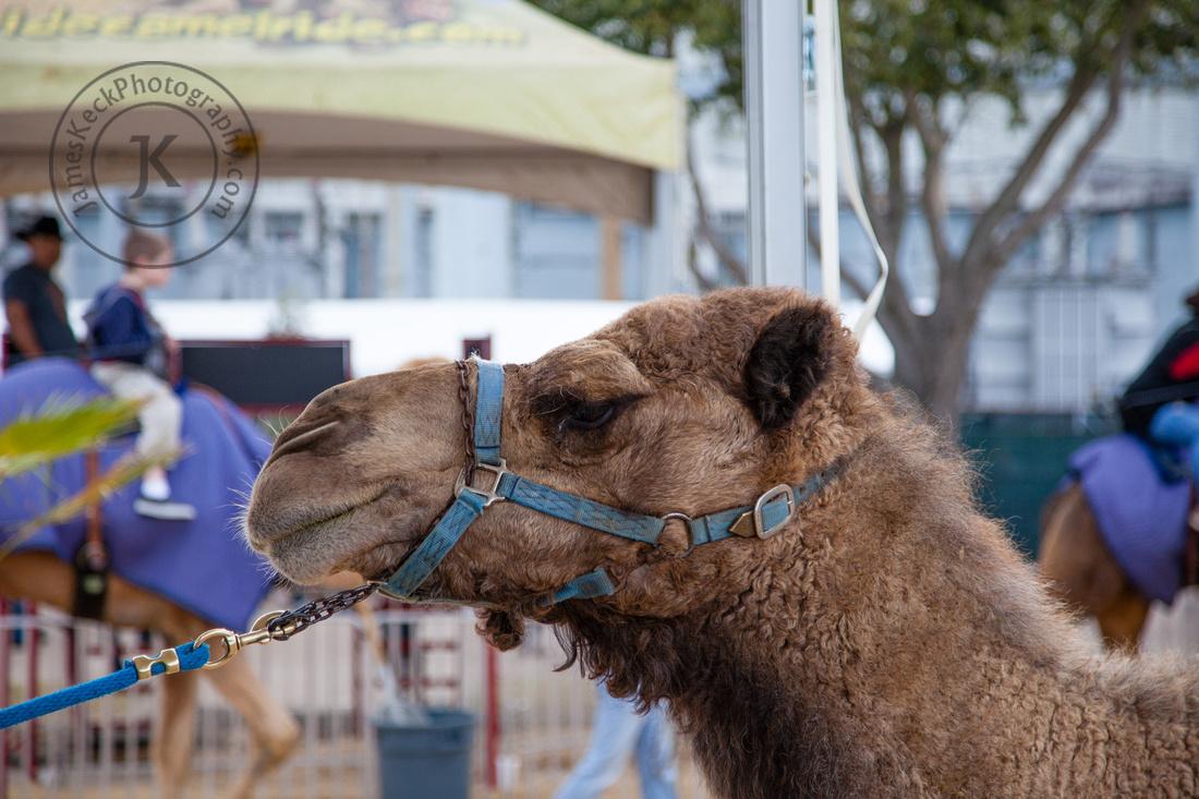 Houston Rodeo Camel