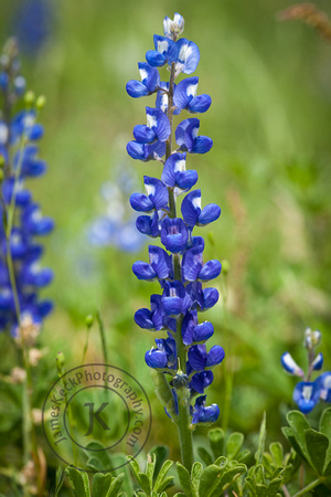 Portrait of Bluebonnets