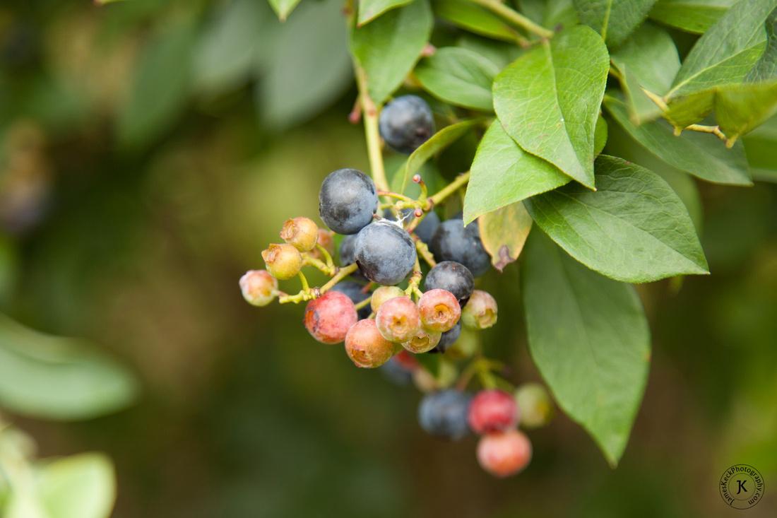children portraits, photographs, blueberries, Shuqualak Farms