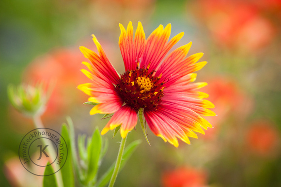 Portrait of Indian Blanket