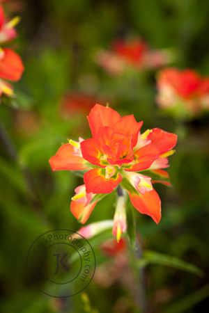 Portrait of Indian Paintbrush