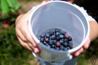 Photo of Blueberries in Container at Shuqualak Farms